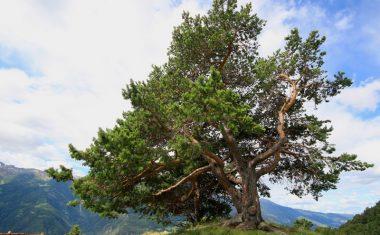 Die Zirbe – Wissenswertes über Baum, Holz und Verwendung